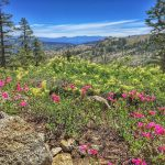 June flowers in Squaw Valley. Photo: Jenelle Potvin