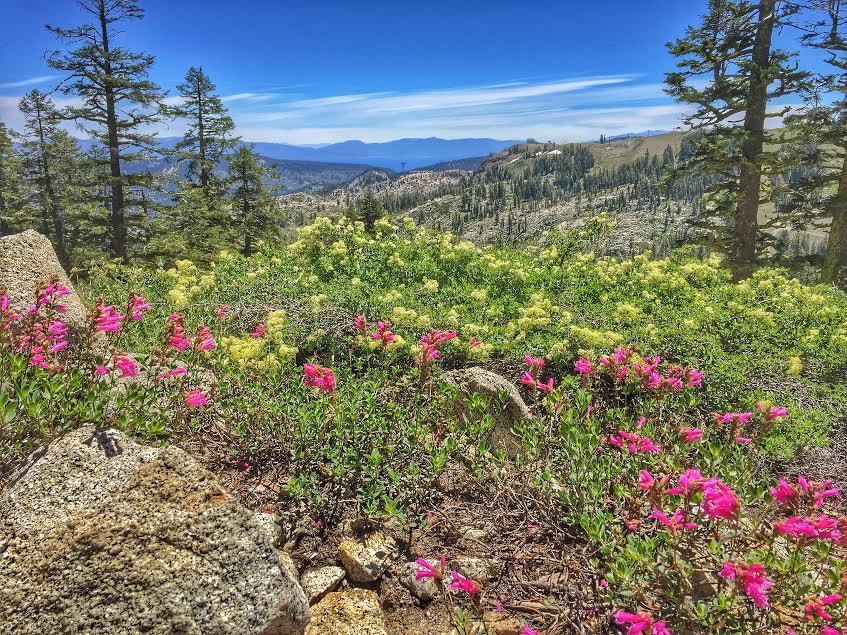 June flowers in Squaw Valley. Photo: Jenelle Potvin